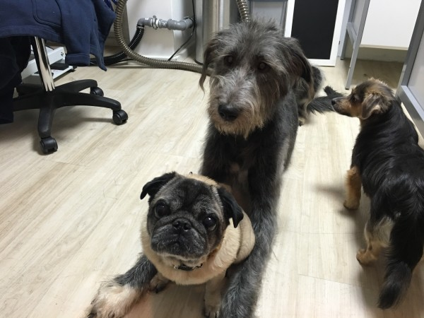 Irish Wolfhound & pug
