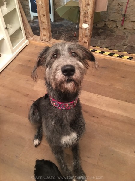 Irish Wolfhound pink collar